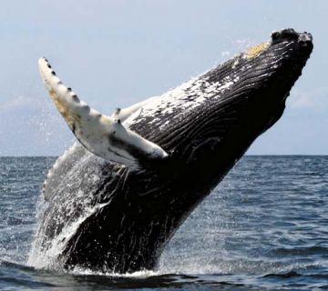 Сколько весит кит