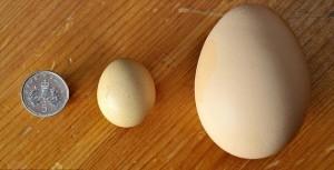 Самое крупное яйцо