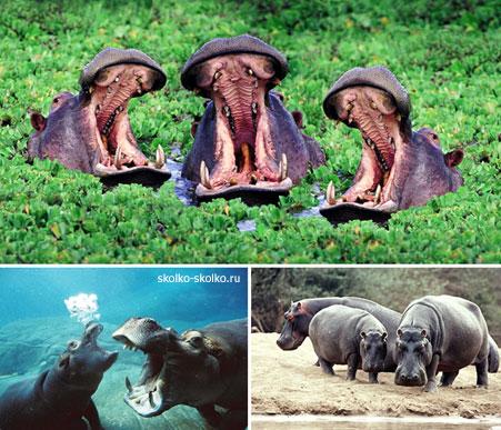 Сколько весит новорожденный бегемот